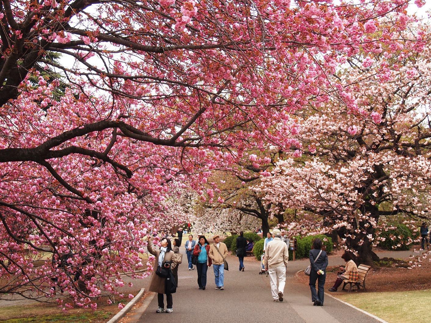 Những lễ hội mùa xuân hấp dẫn nhất ở Tokyo - Nhật Bản