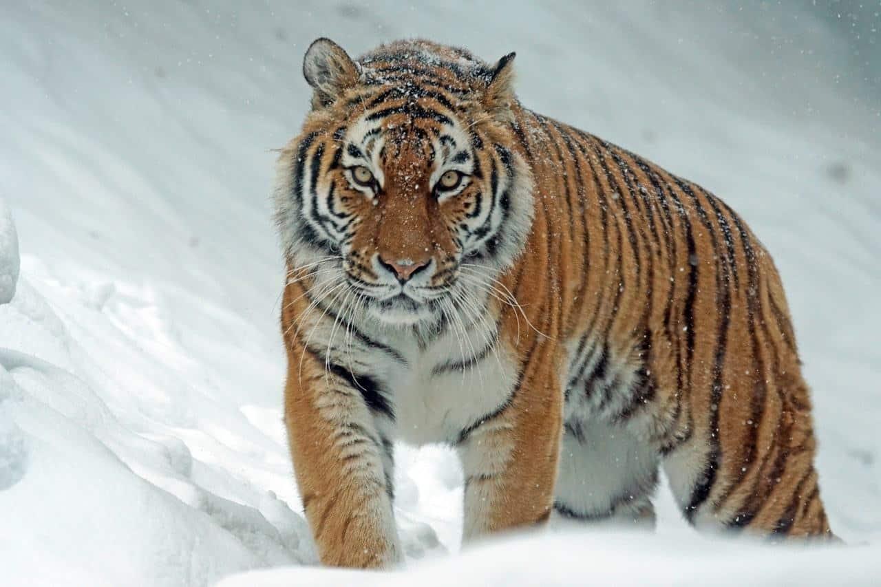 Hổ - Tiger - Kênh Động Vật