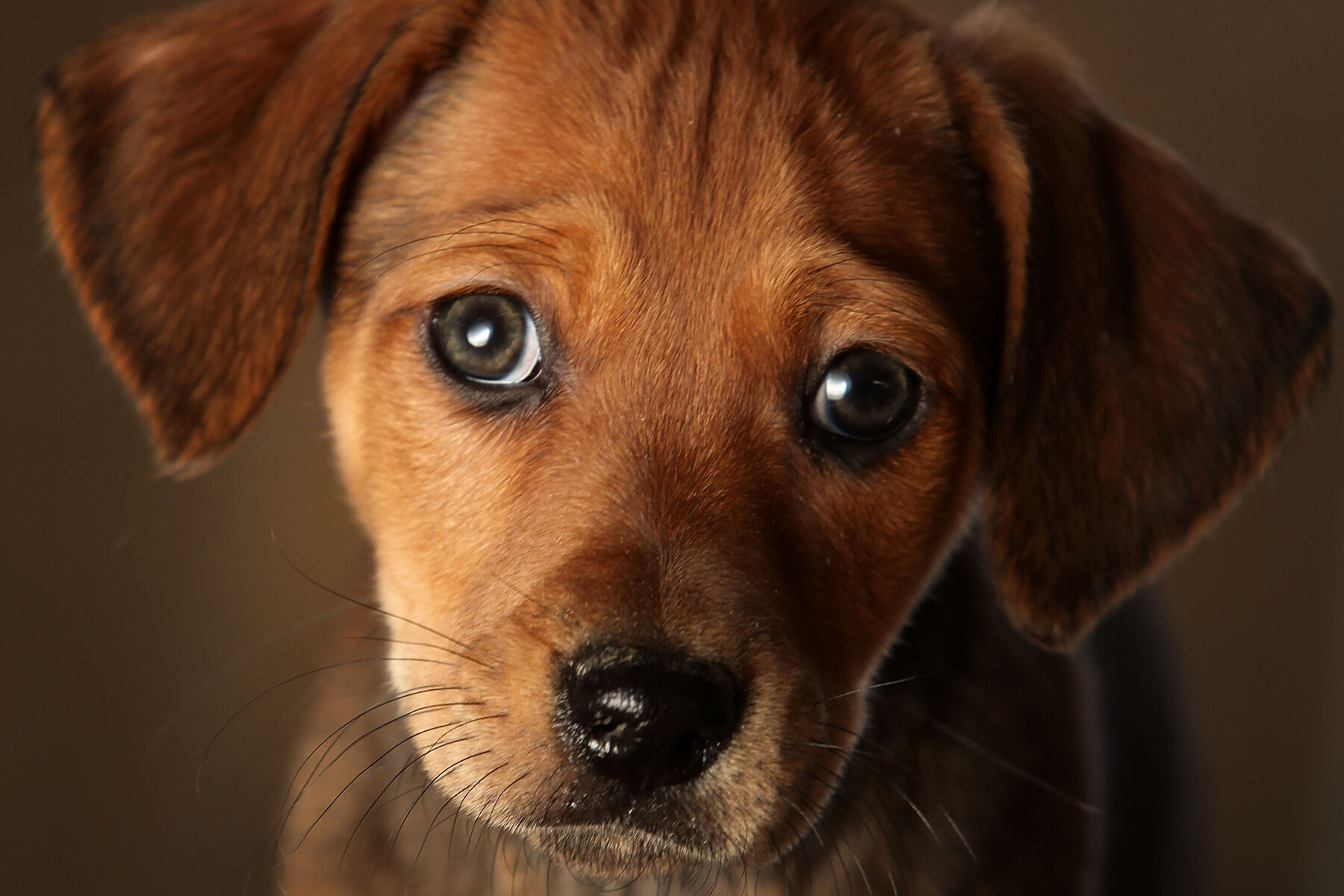 Those Puppy Dog Eyes You Can't Resist? Thank Evolution - The New York Times