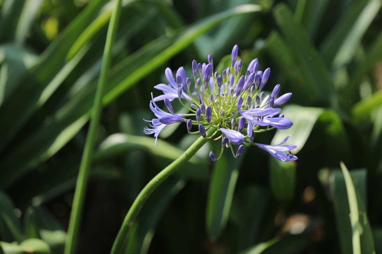 Các loài hoa màu tím ( 11 )