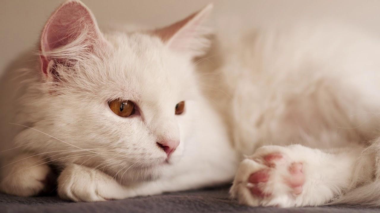 Mèo đẹp nhất thế giới ( 4 )
