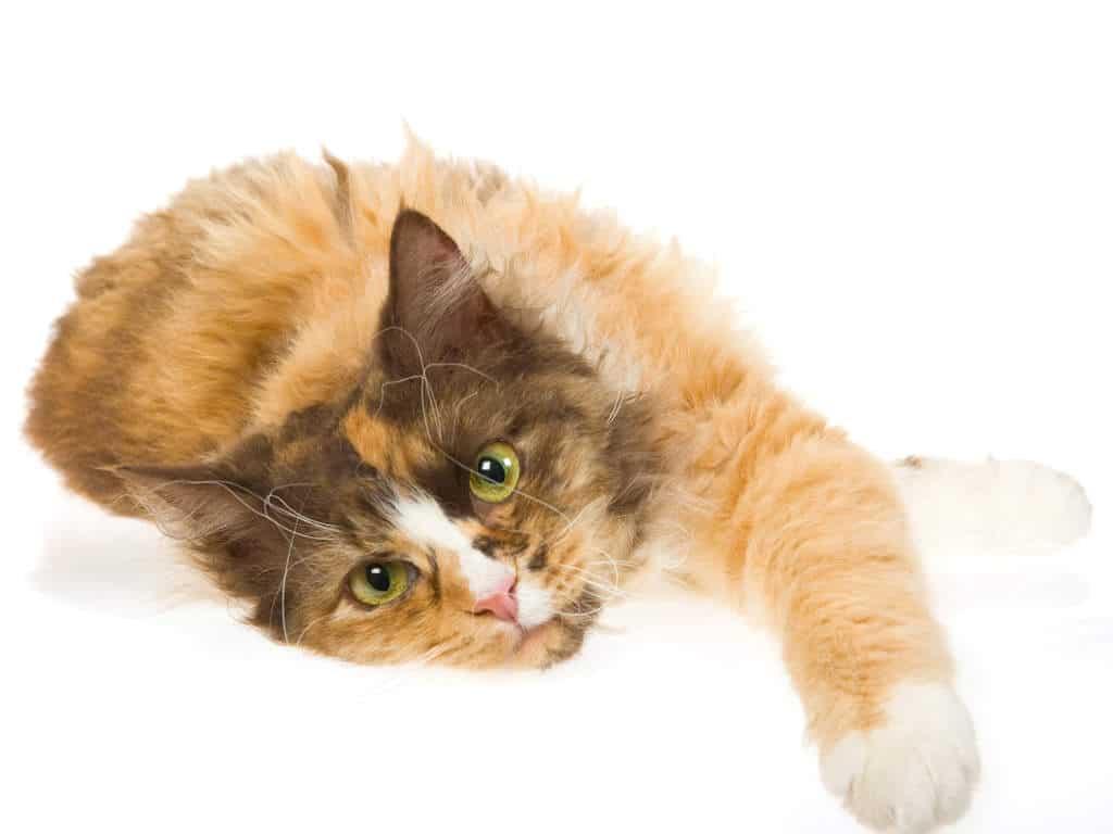 Mèo đẹp nhất thế giới ( 1 )