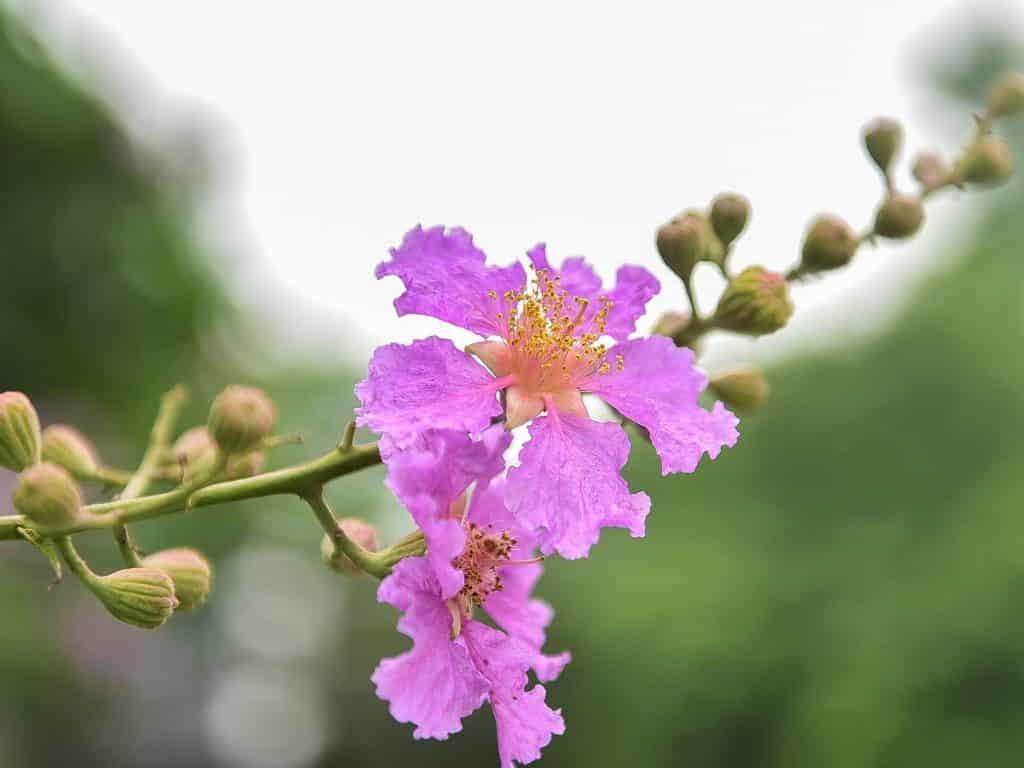 Các loài hoa màu tím ( 6 )