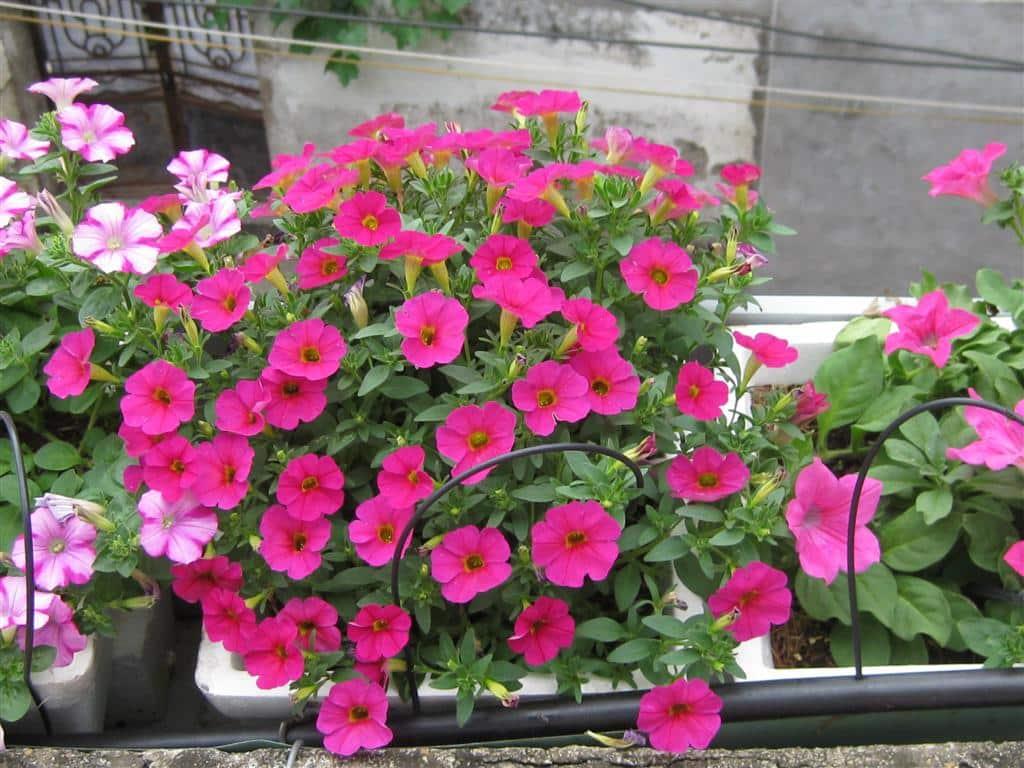 Các loài hoa màu tím ( 12 )