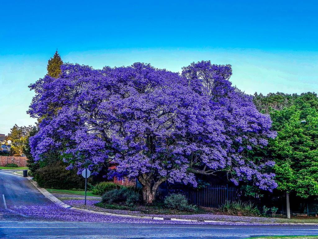 Các loài hoa màu tím ( 10 )