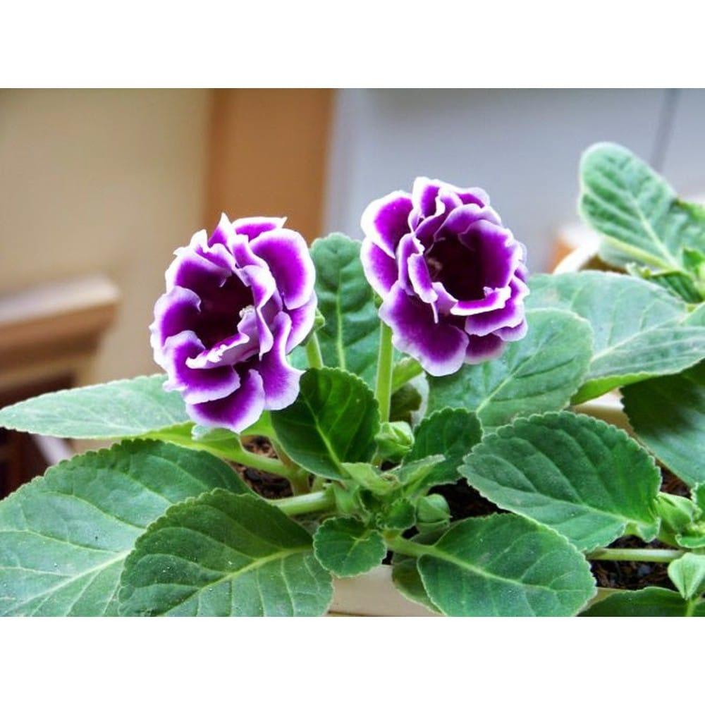 Các loài hoa màu tím ( 13 )
