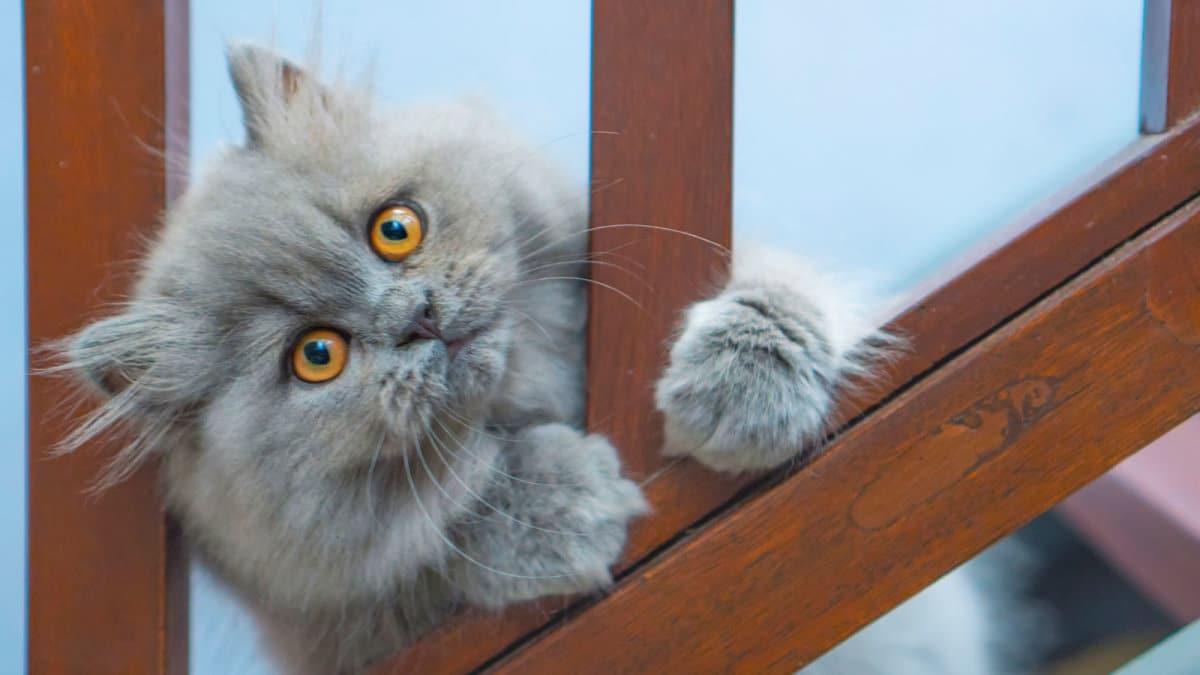 Mèo đẹp nhất thế giới ( 8 )